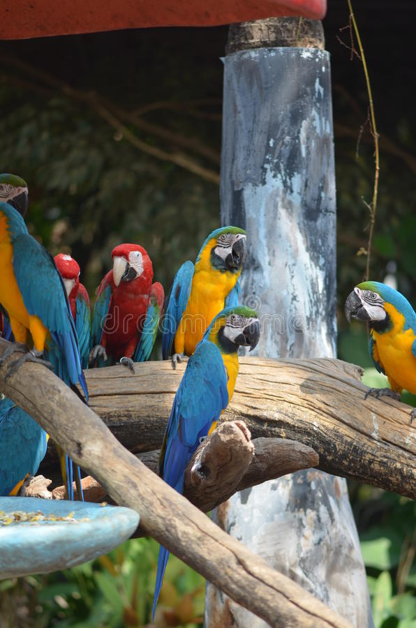 Perroquet de Macow photos libres de droits