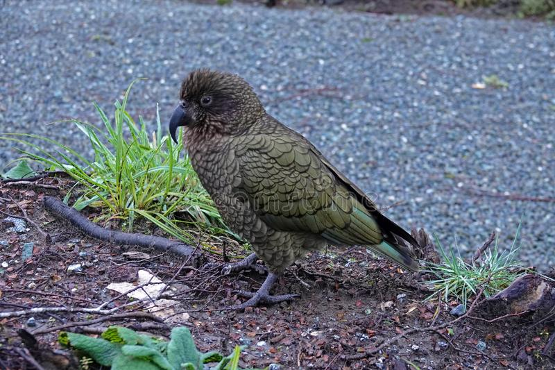 Perroquet de montagne de Kea près de Milford Sound, Nouvelle-Zélande photos libres de droits