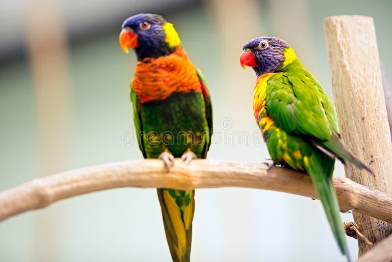 Perroquet de paires images libres de droits