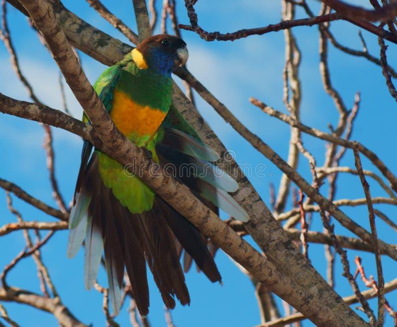 Perroquet de Ringneck photos libres de droits