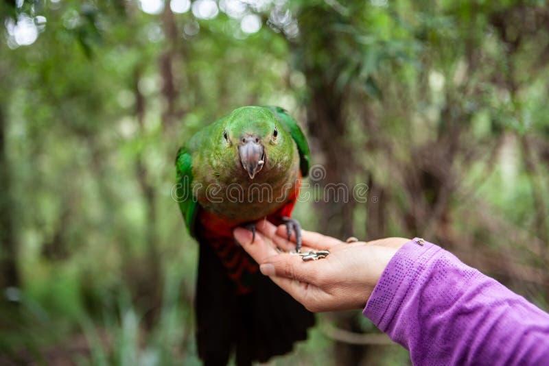 Perroquet de roi sur la main femelle photos libres de droits