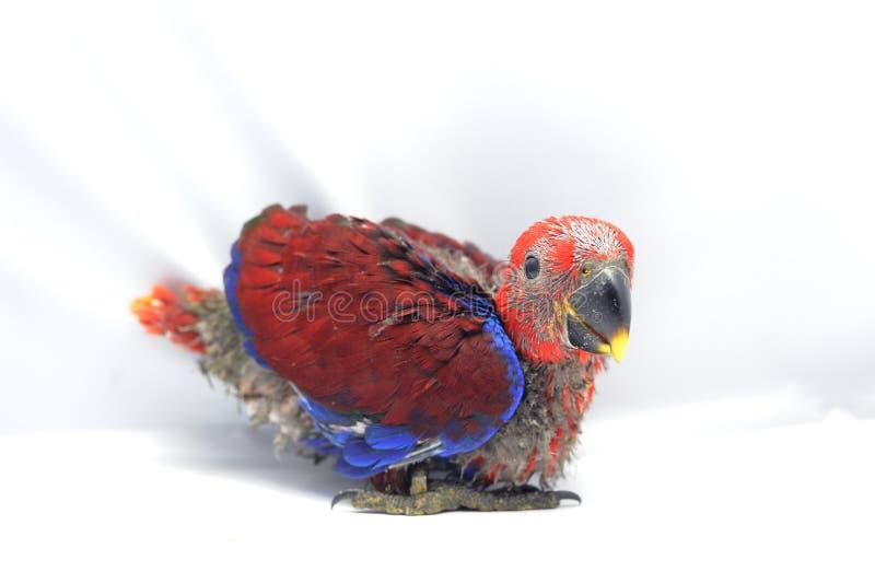 Perroquet de rouge de bébé photographie stock