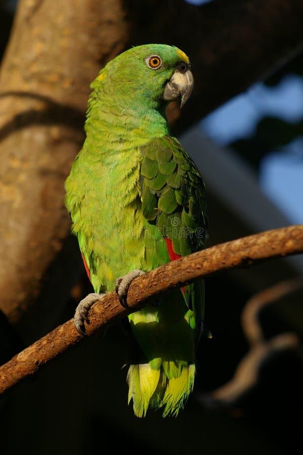 Perroquet des Caraïbes vert images stock
