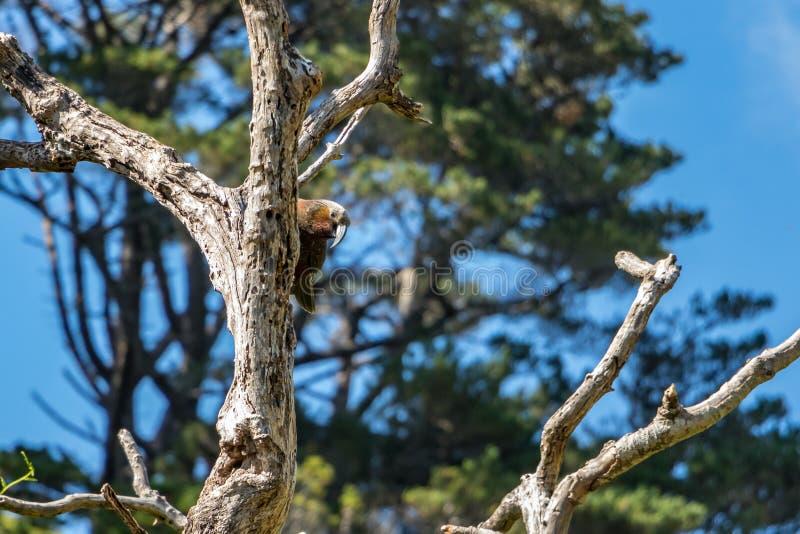 Perroquet du Nouvelle-Zélande Kaka Brown se cachant derrière l'arbre photographie stock