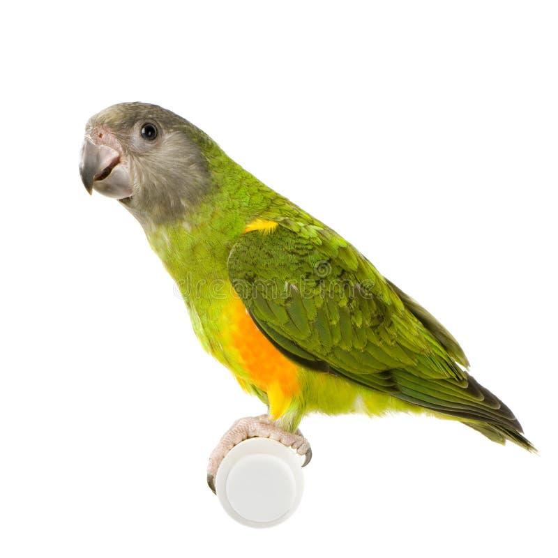 Perroquet du Sénégal photos stock
