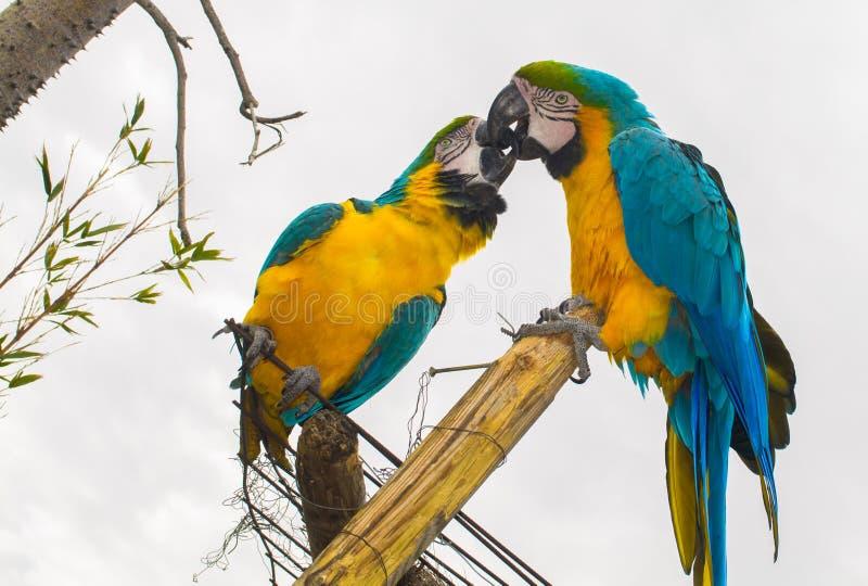 Perroquet embrassant dans l'amour photo libre de droits