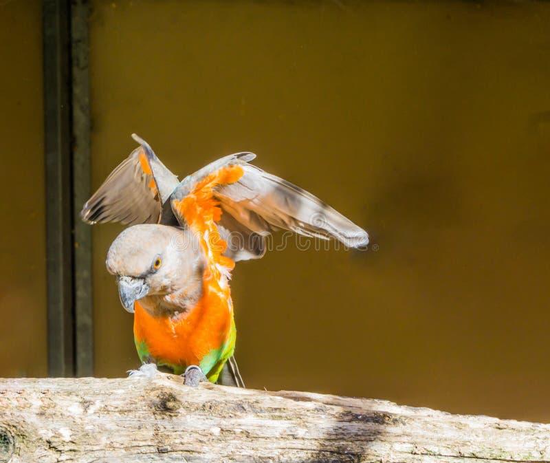 Perroquet gonflé rouge répandant ses ailes, un petit perroquet tropical coloré d'Afrique images libres de droits