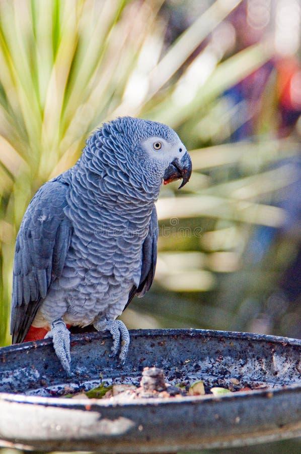 Perroquet gris chez l'animal mexicain de Reino de jardin zoologique images libres de droits
