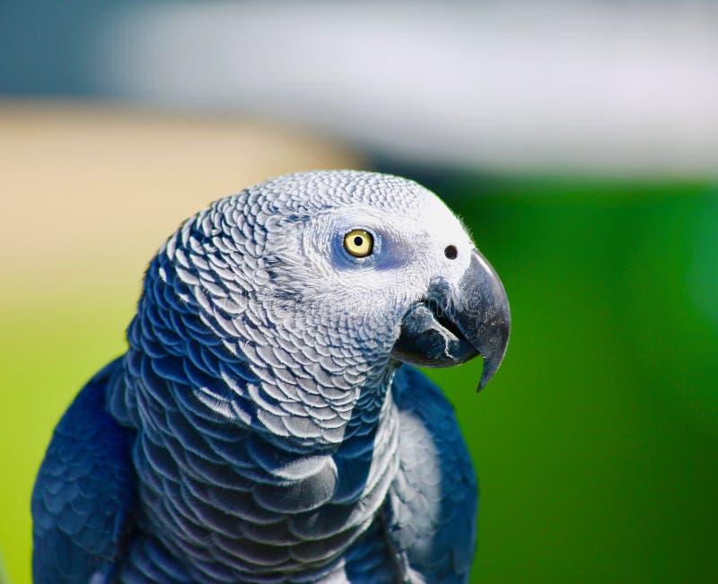Perroquet gris d'Afrique image stock