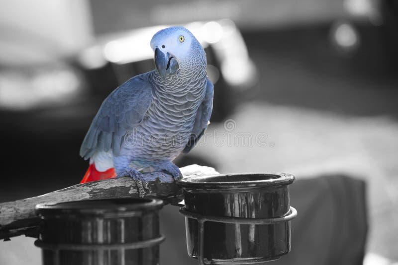 Perroquet gris d'Afrique photos stock