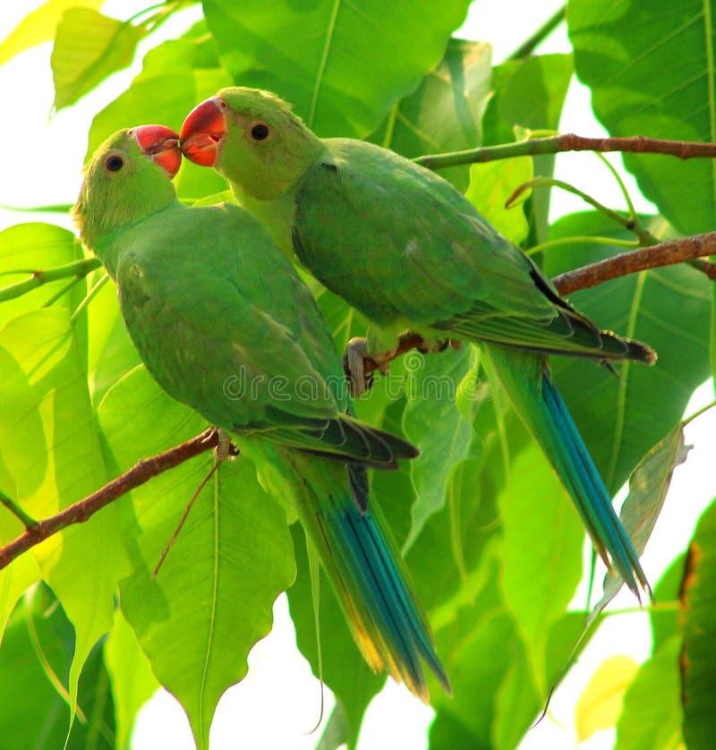 Perroquet indien photos libres de droits