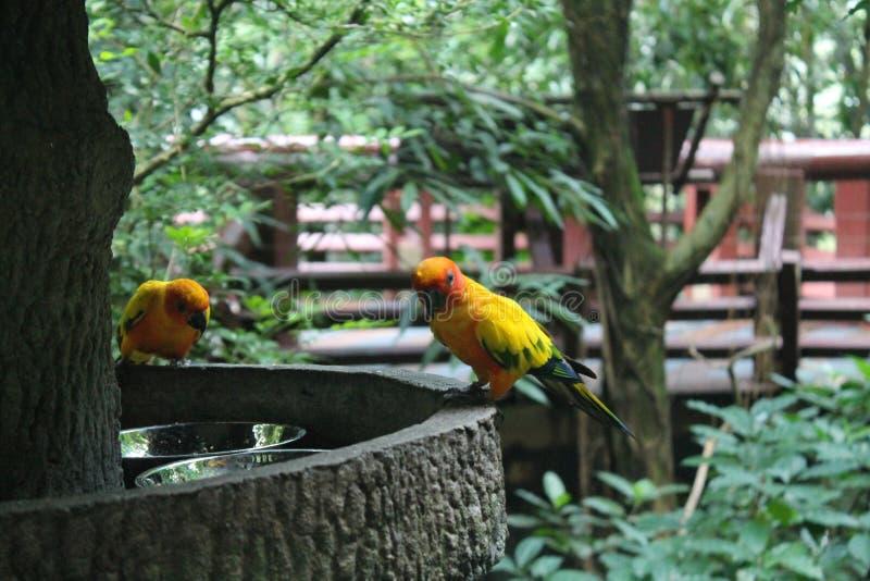 Perroquet jaune coloré, solstitialis de Sun Conure Aratinga, se tenant sur la branche, profil de sein Oiseau de fond image libre de droits