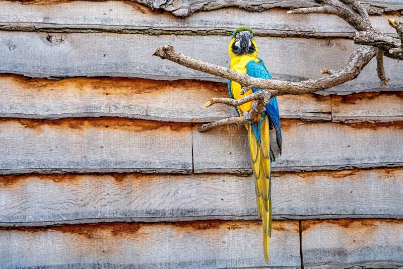 Perroquet jaune et bleu coloré été perché sur une branche d'un arbre photo libre de droits