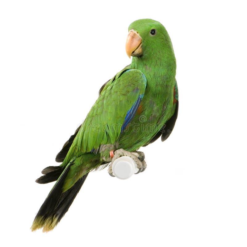 Perroquet mâle d'Eclectus photographie stock