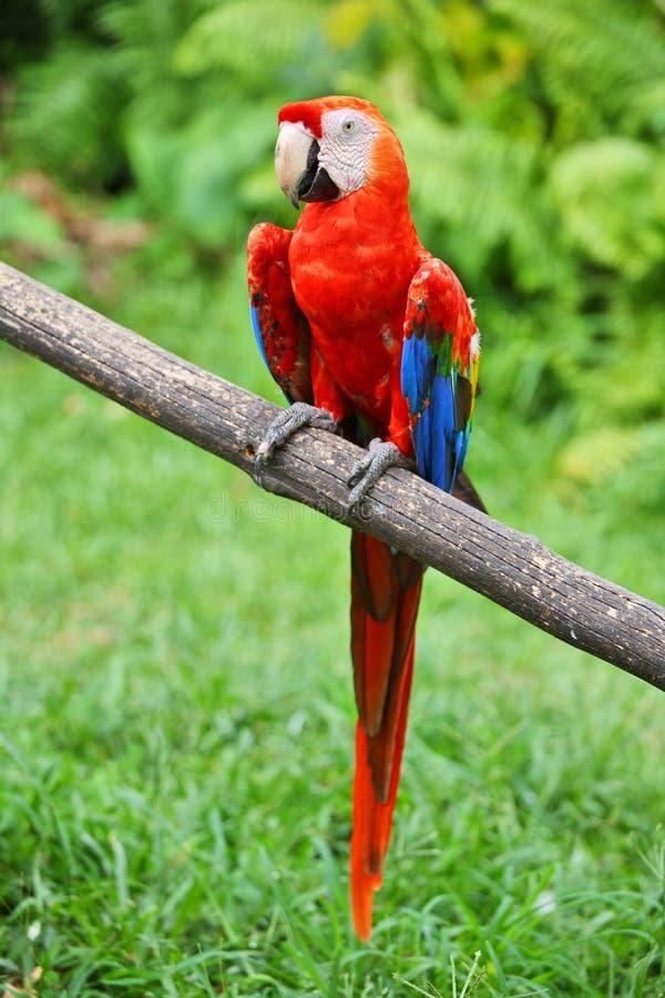 Perroquet : macaw d'écarlate image libre de droits