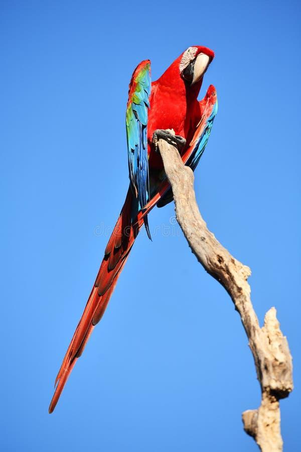 Perroquet : macaw d'écarlate photos libres de droits