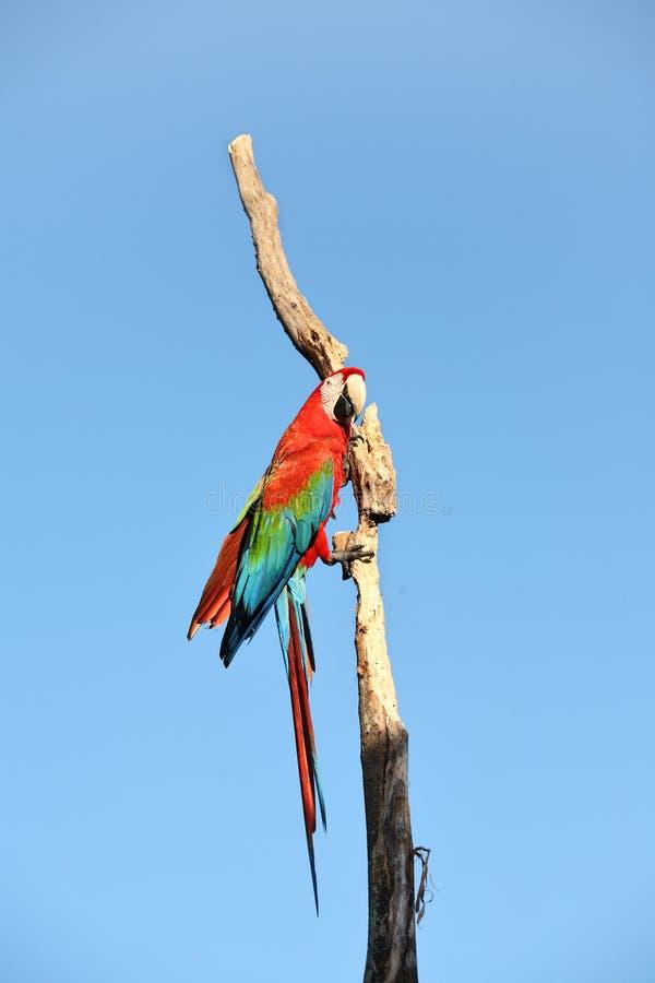 Perroquet : macaw d'écarlate photo stock