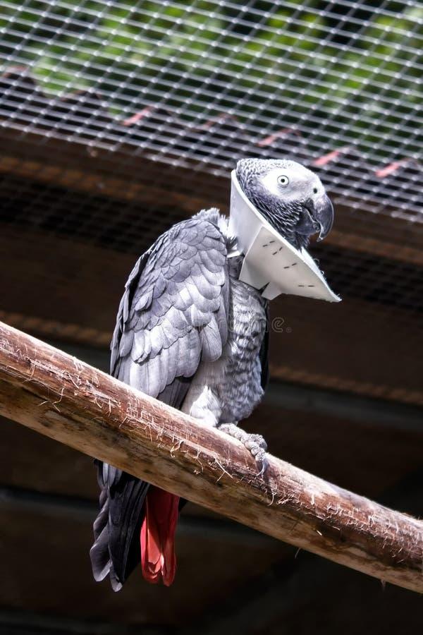 Perroquet malade avec un collier de cou pour la protection pendant la guérison photo libre de droits