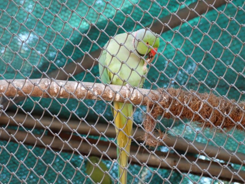 Perroquet mangeant son propre pied photos stock