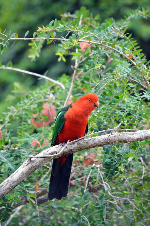 Perroquet masculin australien de roi photo libre de droits