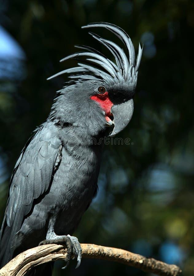 Perroquet noir photo stock