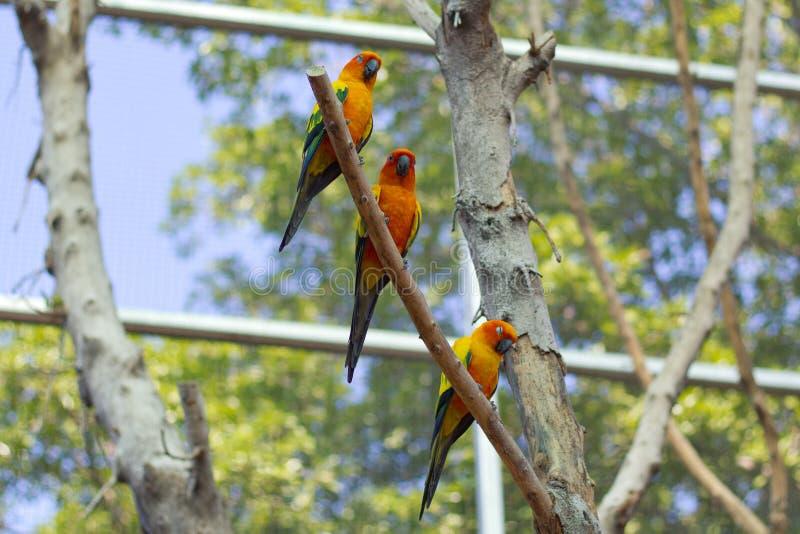 Perroquet orange somnolent de conure du soleil sur une branche d'arbre photo stock