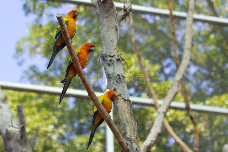 Perroquet orange somnolent de conure du soleil sur une branche d'arbre photographie stock