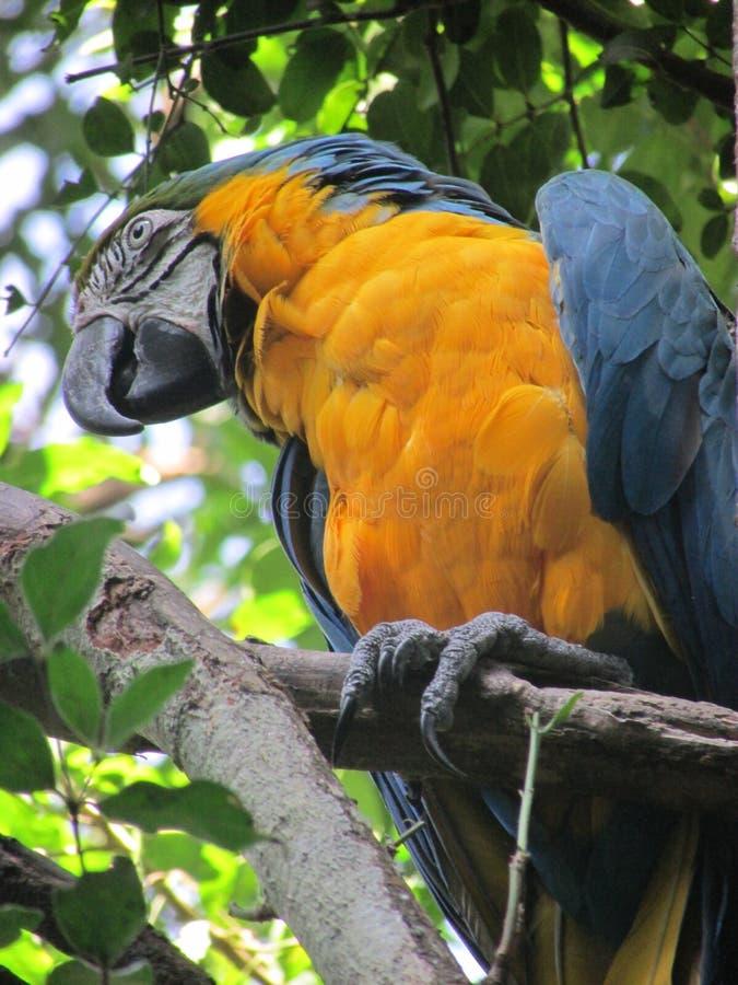 Perroquet renversant d'ara dans la forêt photo stock