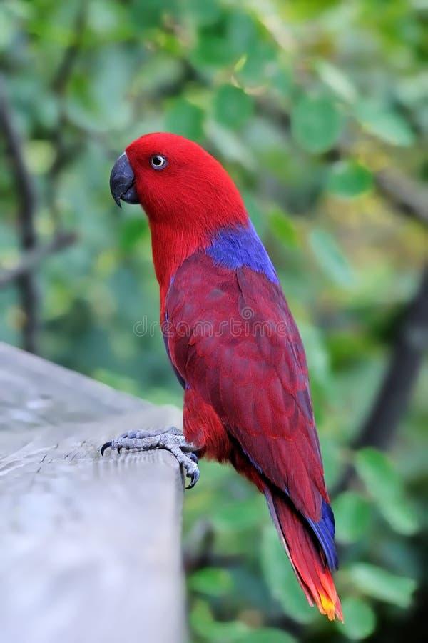 Perroquet rouge photos stock
