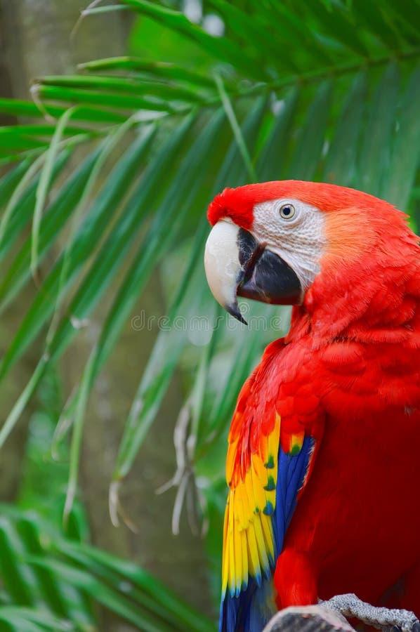 Perroquet rouge de Macaw photographie stock libre de droits