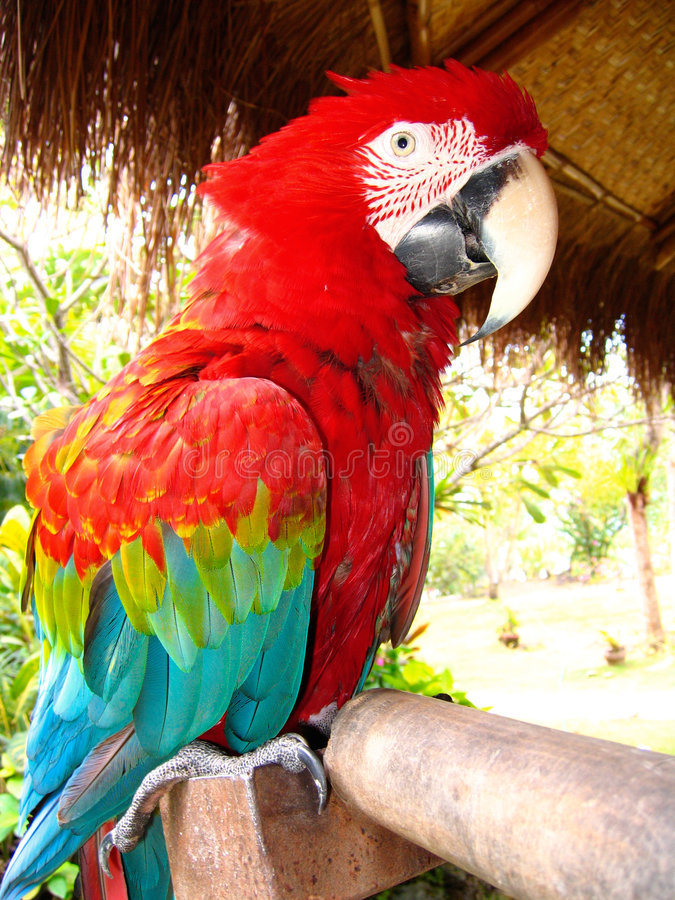 Perroquet rouge de macaw photographie stock