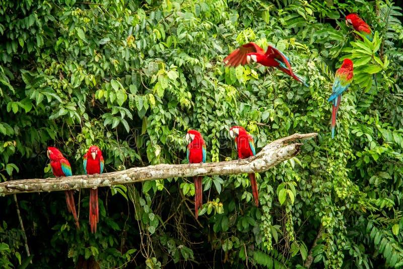Perroquet rouge en étant perché sur la branche, végétation verte à l'arrière-plan Ara rouge et vert dans la forêt tropicale, Péro image libre de droits