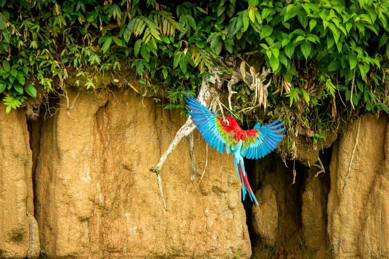 Perroquet rouge en vol Vol d'ara, végétation verte à l'arrière-plan Ara rouge et vert dans la forêt tropicale, Brésil, scène de f photographie stock