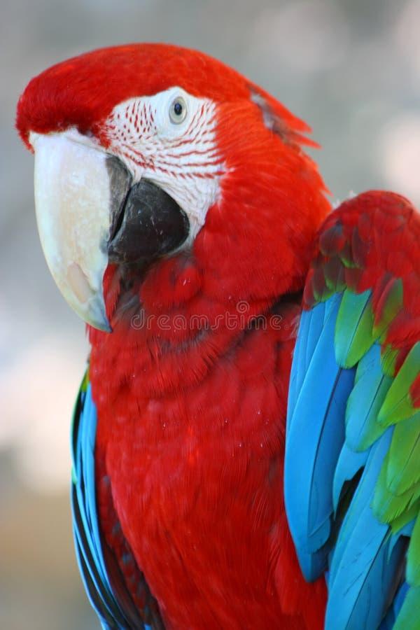 Perroquet rouge et vert de macaw image stock