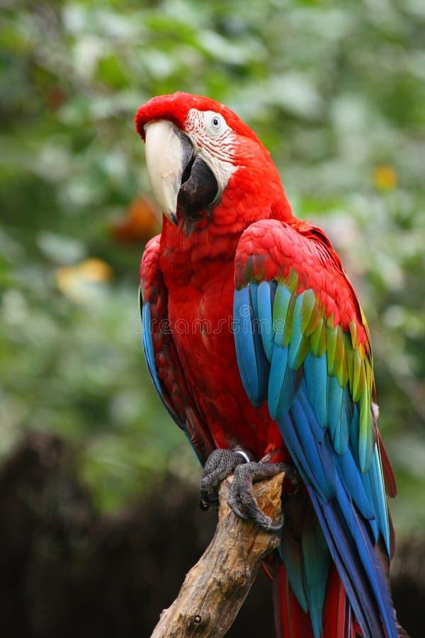 Perroquet rouge et vert de macaw photo libre de droits