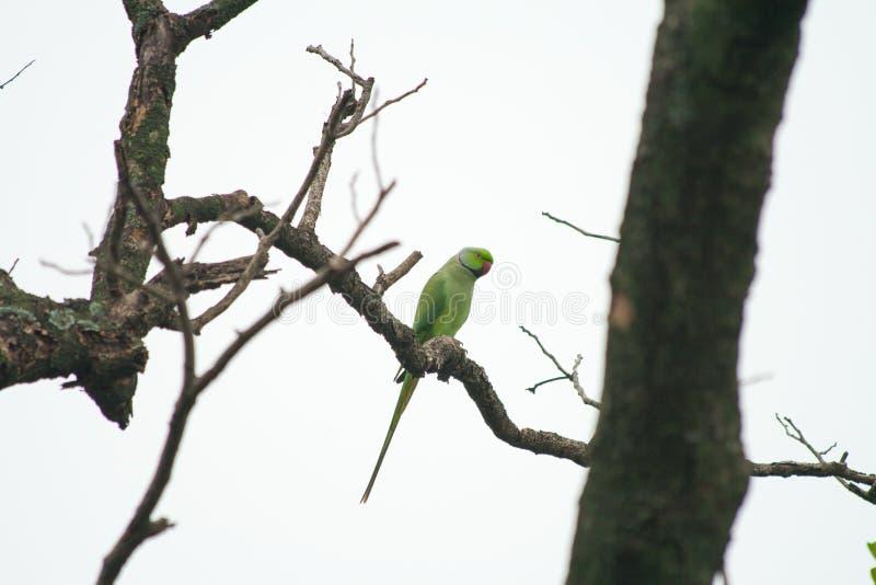 Perroquet sur la branche d'arbre sèche image libre de droits