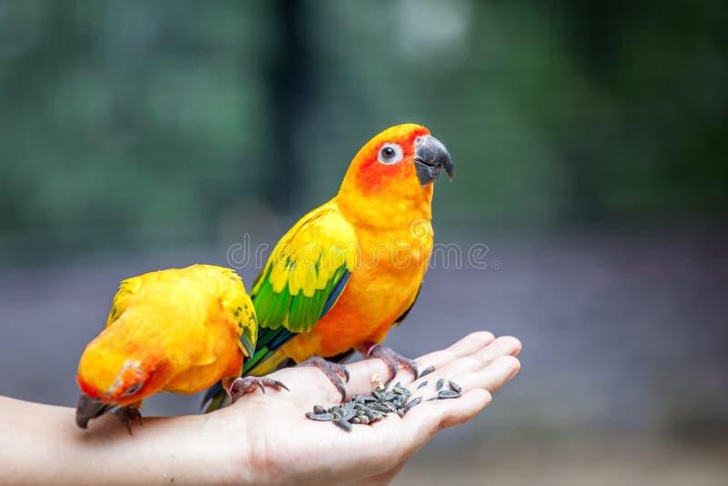 Perroquet sur la main de femme photos libres de droits