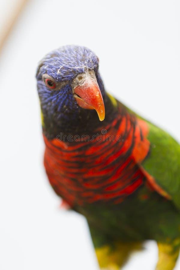 Perroquet sur la perche photographie stock libre de droits