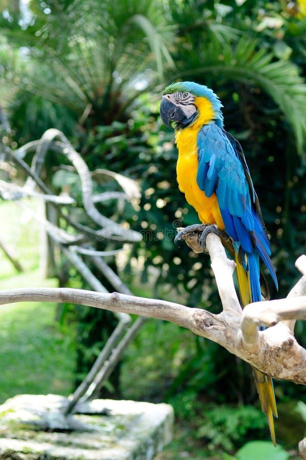 Perroquet sur le branchement photos stock