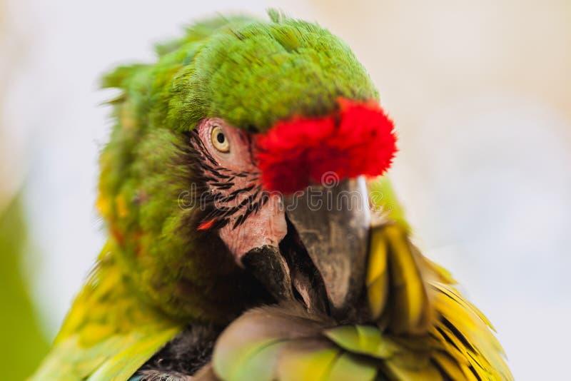 Perroquet vert d'ara images libres de droits
