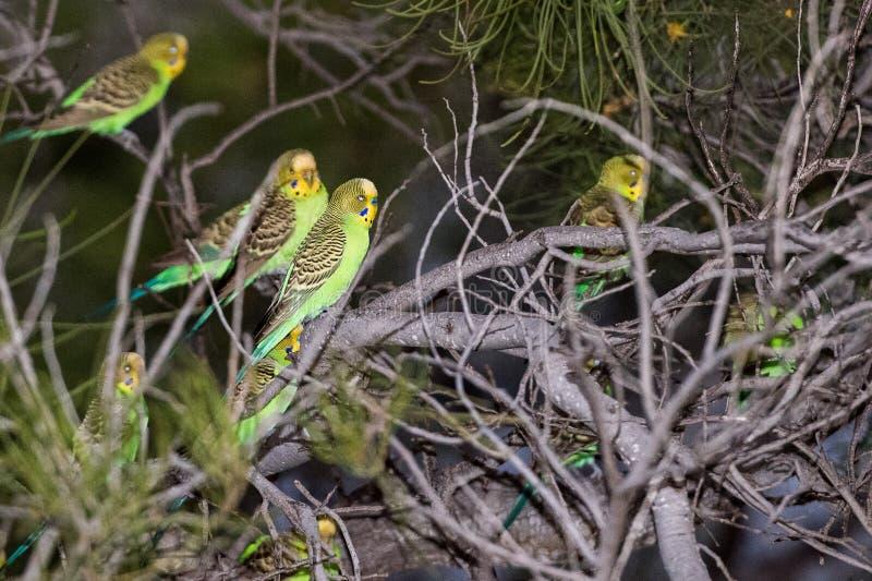 Perroquet vert d'Australie au coucher du soleil images libres de droits