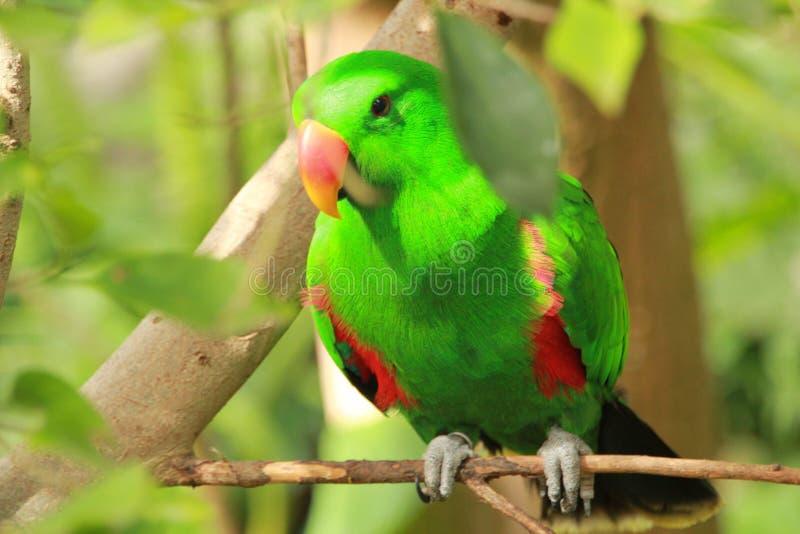 Perroquet vert dans Loro Parque dans Ténérife images libres de droits