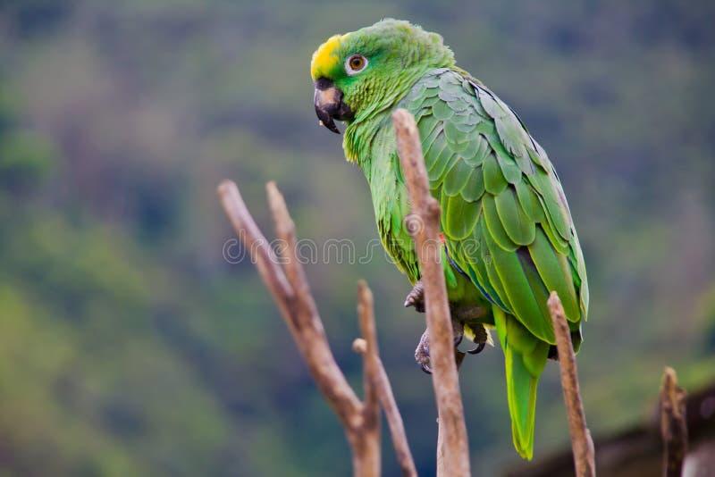 Perroquet vert du Costa Rica au loin images libres de droits