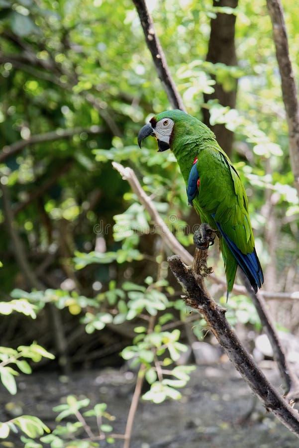 Perroquet vert Oiseau rare sauvage sur une branche dans l'habitat naturel photographie stock