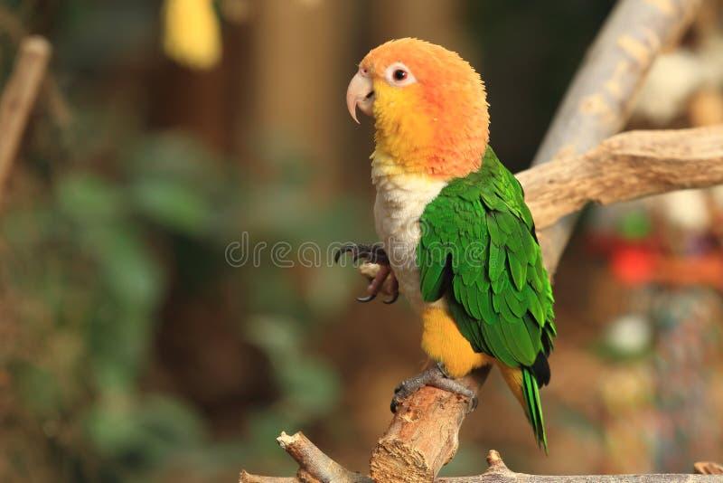 Perroquet vert-thighed photos libres de droits
