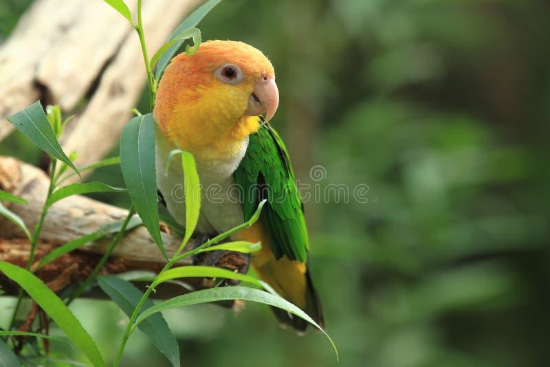 Perroquet vert-thighed images libres de droits