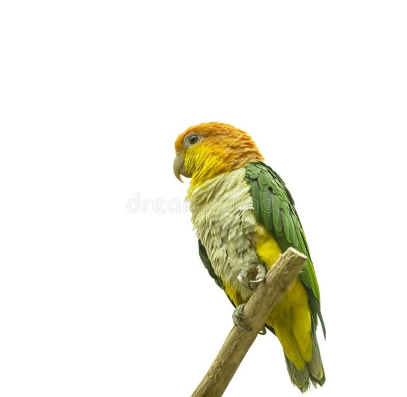 Perroquet vert-thighed Oiseau tropical exotique D'isolement photos libres de droits