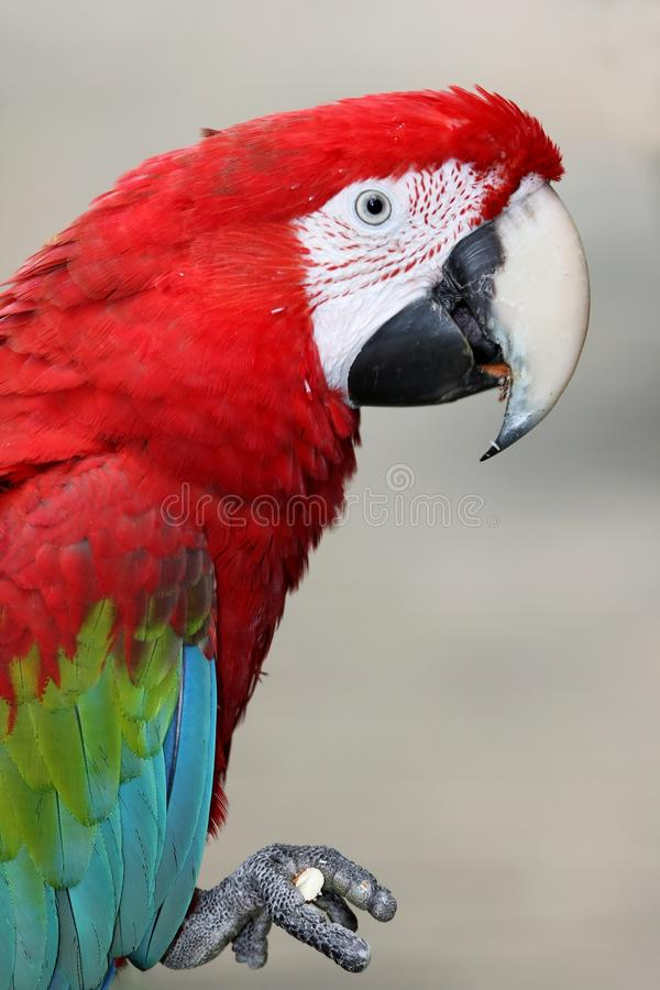 Perroquet viridipenne de Macaw photo stock