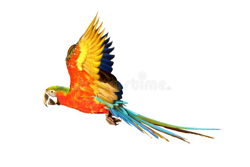 Perroquet volant coloré images libres de droits