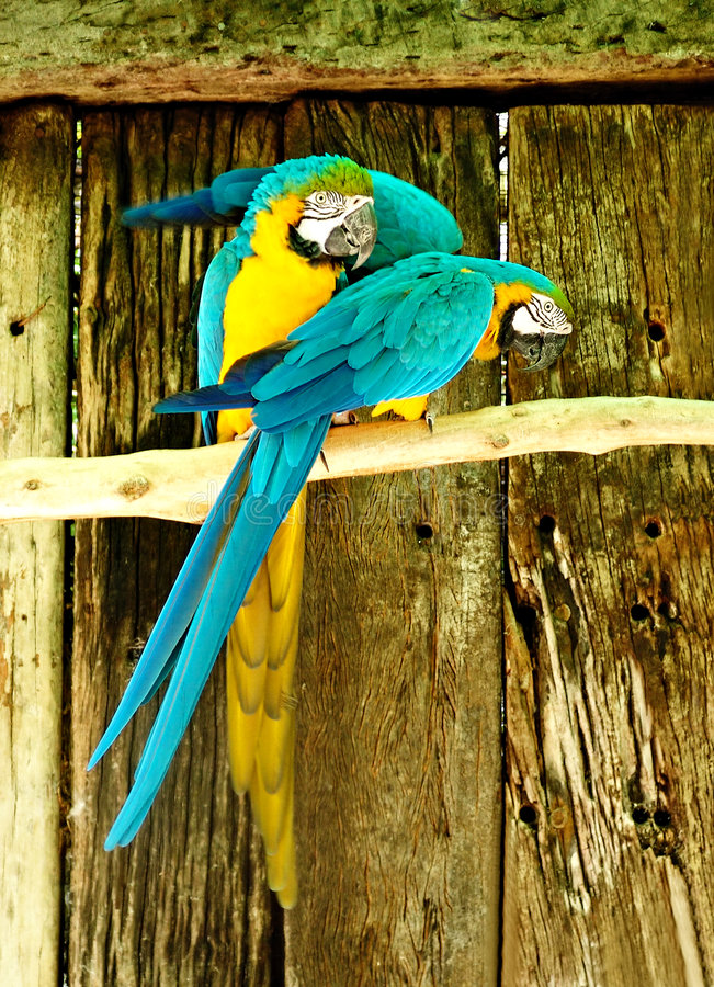 Perroquets photos libres de droits